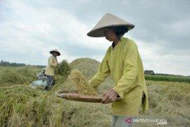 Produksi beras Sumsel 2020