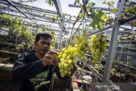 Budidaya Tanaman Anggur Di Jakarta Timur