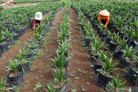 Riau remajakan 26.500 hektare lahan sawit