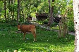 Sapi krui sebagai komoditas peternakan