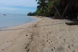 Kelapa Bido di Morotai Maluku hanya tersisa 110 pohon
