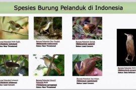 Burung pelanduk yang punah sejak tahun 1848 kembali ditemukan di Kalimantan