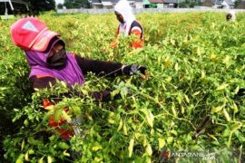 Harga cabai di pasar Merauke naik Rp80 ribu/kg
