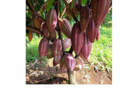 Produksi kakao di Pakuan Aji Lampung Timur menurun