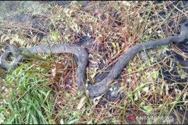 Ular sepanjang 2 meter mati terpanggang akibat karhutla di Siak