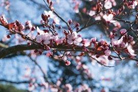 Tempat menikmati keindahan bunga sakura mekar, dari Jepang hingga Indonesia