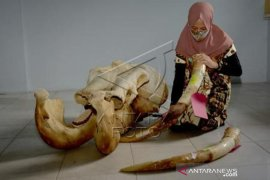 Barang Bukti Perburuan Gajah Sumatera
