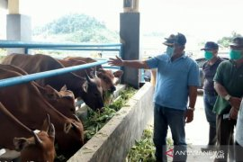 Menilik tekad pemerintah menjadikan Buol penyuplai sapi pedaging