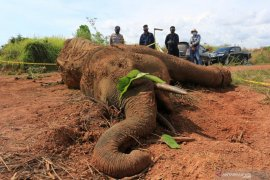 BKSDA: Infeksi bekas jeratan sebabkan gajah mati di Aceh Jaya