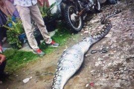 Warga tangkap ular piton usai mangsa seekor kambing