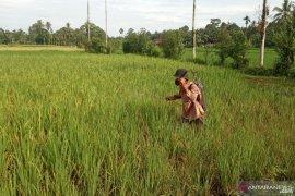 Dalam lima bulan terakhir, hama wereng serang lahan pertanian di Agam