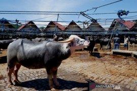 Pasar kerbau Toraja Page 2 Small