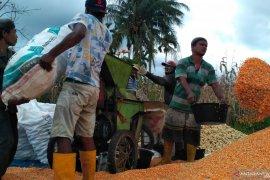Petani jagung Solok Selatan mengaku hasil panen menurun, ini penyebabnya