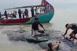 Sejumlah nelayan temukan paus dalam kondisi mati di perairan Cirebon