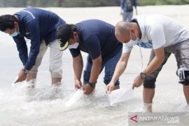 PT Timah lepas ratusan anakan cumi-cumi di Pantai Bangka