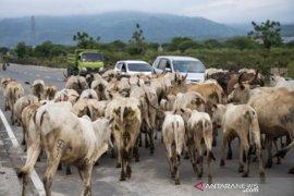 Ketersediaan daging sapi nasional