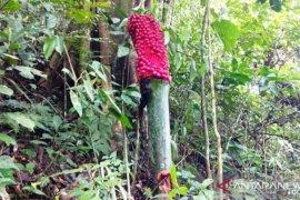 Bunga bangkai yang berbuah ditemukan di Agam