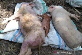 Kabupaten OKU tekan penyebaran virus ASF pada babi