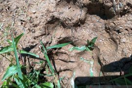 Dua kerbau warga Agam dimangsa harimau, satu ekor mati
