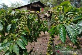 Harga biji kopi  di Rejang Lebong stabil