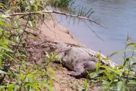 Buaya sering muncul di sepanjang Sungai Batang Antokan, BKSDA Sumbar imbau waspada