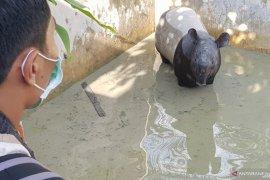 Seekor tapir liar nyasar ke kolam ikan warga
