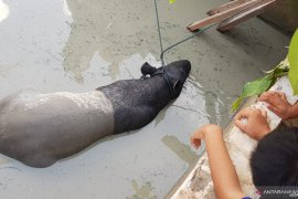 Evakuasi Tapir dari kolam ikan warga di Pekanbaru berlangsung enam jam, begini penjelasannya
