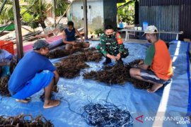 Babinsa Kodim Yawa dukung budidaya rumput laut kampung Sarawandori