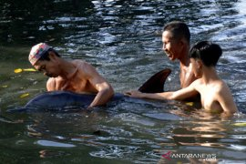 Lumba-lumba terdampar di tambak ikan