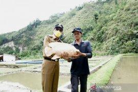 Ditargetkan produksi 2.000 ton/bulan, ikan Gurame Sago juga untuk memenuhi permintaan pasar internasional