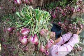 Petani bawang di sentra produksi Alahan Panjang lesu, harga turun jadi Rp15 ribu perkilogram