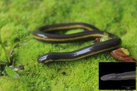 Amphibi tanpa kaki  Satwa Langka asal Sumatera yang tak dikenali