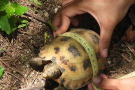KOMIU: LIPI perlu usulkan status kura-kura Sulawesi jadi satwa dilindungi