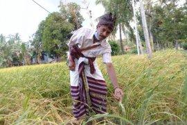 Puluhan haktare sawah petani di Kupang diserang hama wewereng