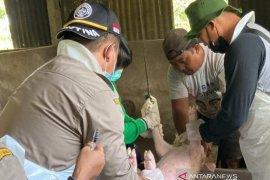 Sulut pasok daging babi 450 ton ke sejumlah daerah