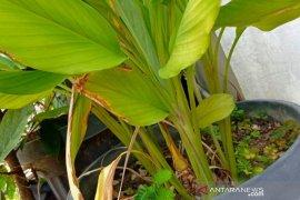 Dosen Unilak racik pestisida organik berbahan rempah