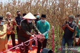 Wamentan tinjau panen raya jagung di Pekanbaru