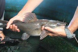 KKP kembangkan teknologi budidaya ikan baung di Sumatera