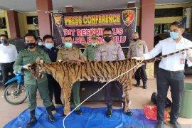 Polisi buru dua pelaku sindikat perdagangan harimau sumatra di Bengkulu