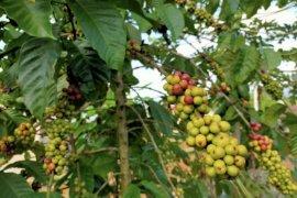 Pemprov Lampung rencanakan revitalisasi 1.000 hektare tanaman kopi