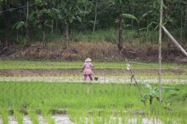 Petani Lampung diminta siapkan burung hantu kendalikan hama tikus