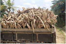 Pengusaha beli singkong petani Lampung di atas Rp900/Kg