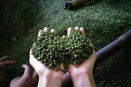 Petani lada Lampung mulai kembangkan tanaman malada cegah kerugian