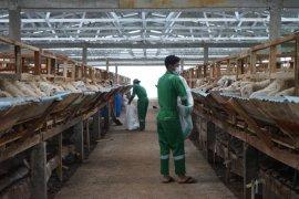 Dompet Dhuafa targetkan 52 ribu hewan kurban tahun ini