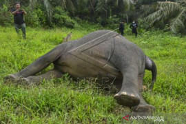 Gajah Sumatera Mati Dibunuh Page 1 Small