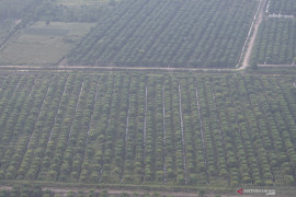 Belasan ribu hektare kelapa sawit di Pasaman Barat bakal diremajakan
