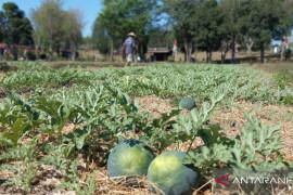 Lapas Atambua latih  warga binaan budidaya semangka