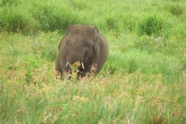 50 gajah di SM Padang Sugihan Kabupaten OKI dilaporkan selamat dari karhutla