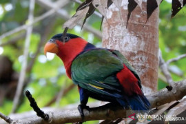 BBKSDA Papua lepasliarkan 76 satwa endemik di hutan adat Isyo