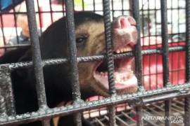 Beruang madu terperangkap jerat babi di Mandah dievakuasi petugas